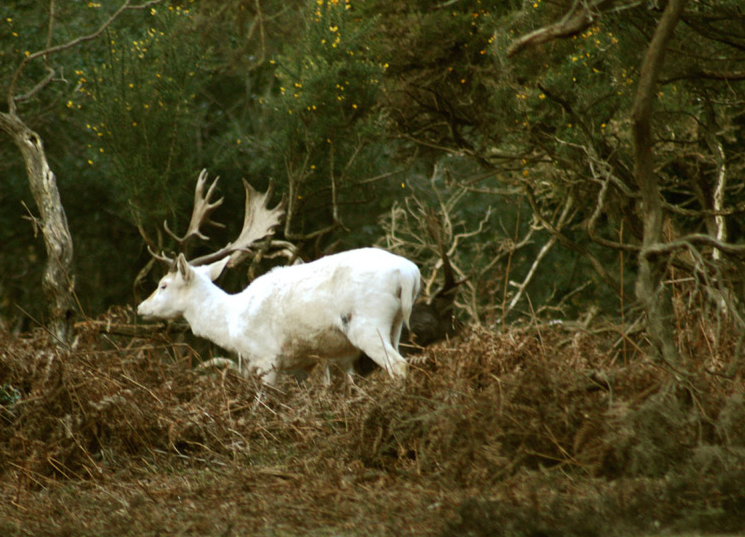 White Stag photograph by Jane Baynes