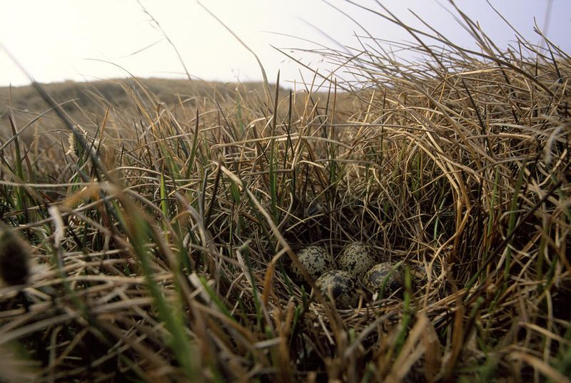Four plover eggs on the tundra by Joel Satore