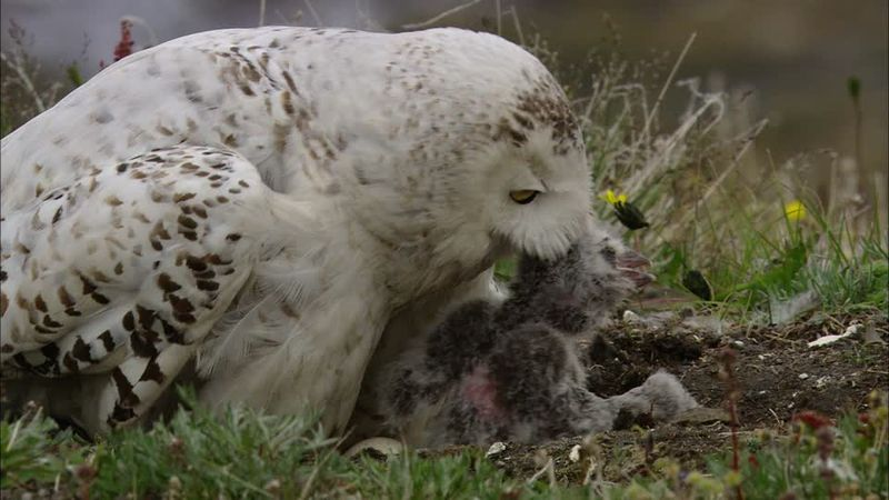 Snowy Owl and chick