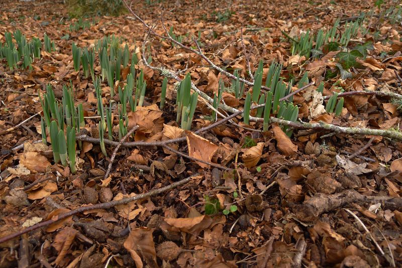 The first wild daffodil shoots in the woods.