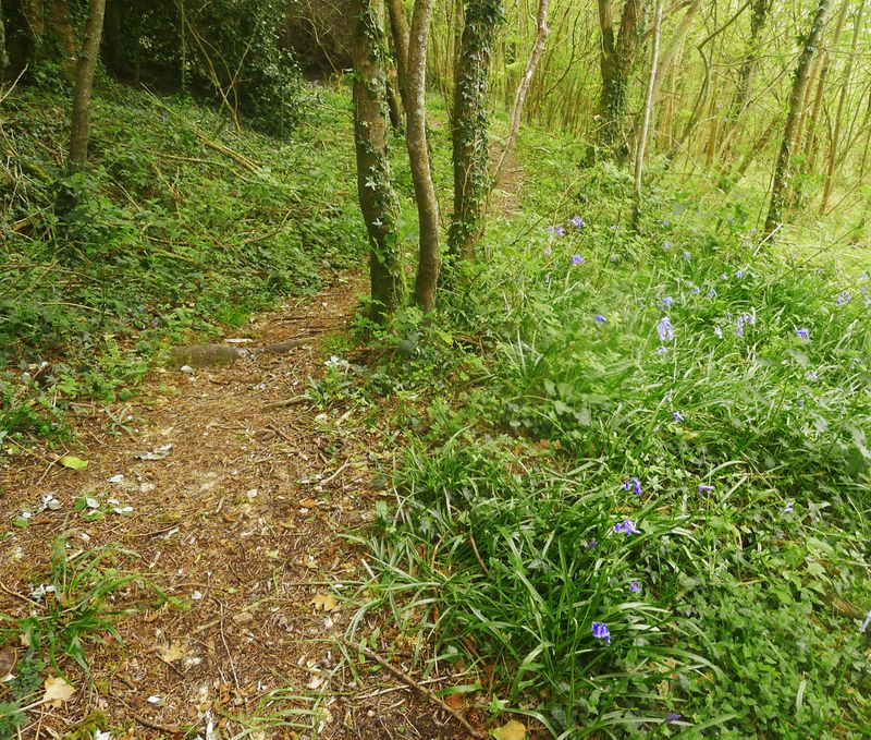 Woodland path with bluebells