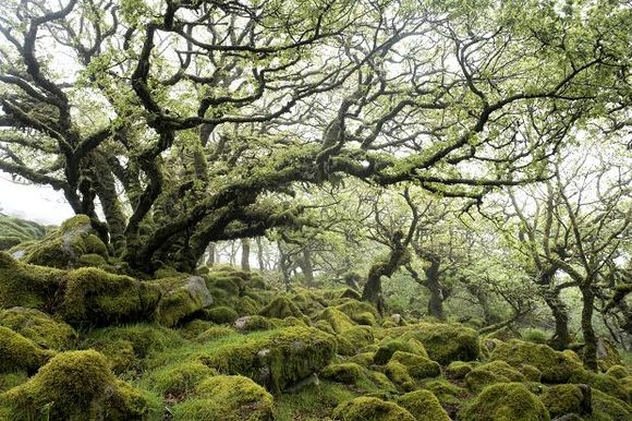 Wistman's Wood, Dartmoor (Sunday Times photograph)