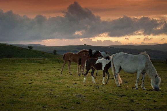 Dartmoor Hill Ponies (Dartington Estate photograph)
