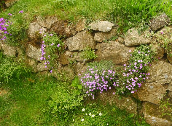 Purple wallflowers among the rocks