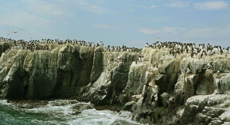 Birds on the Farne Islands by Bob Jones