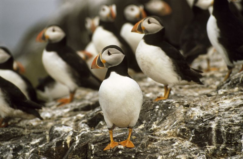 Puffins on The Farne Islands by Joe Cornish