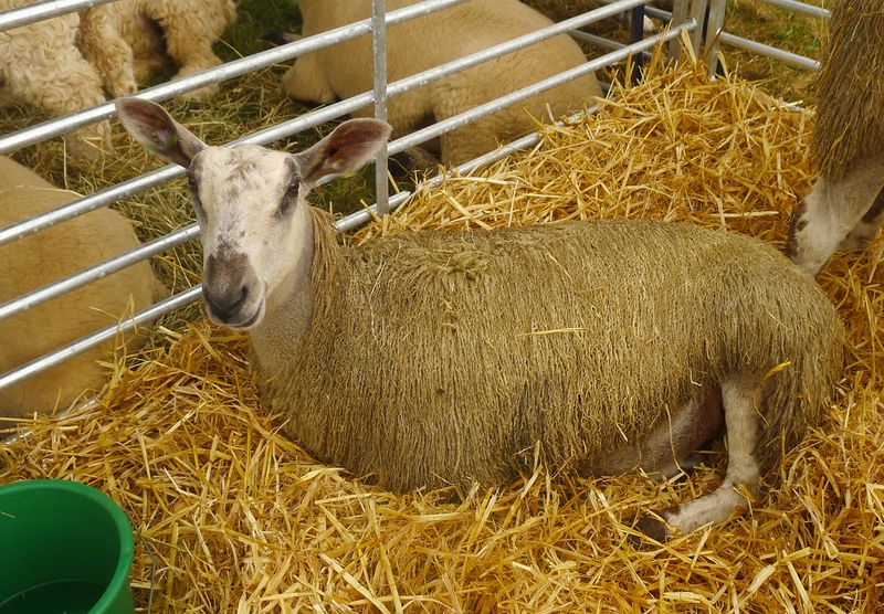 Sheep at Chagford Show