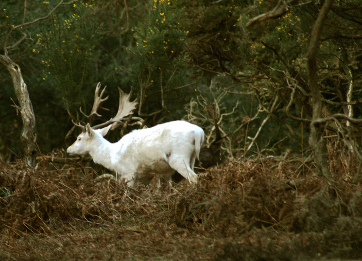 The White Stag by Jane Baynes