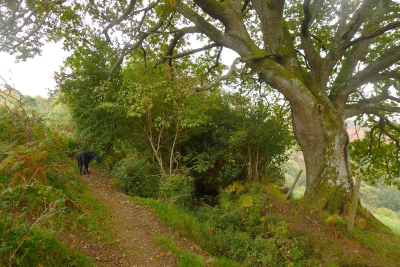 Oak elder in autumn