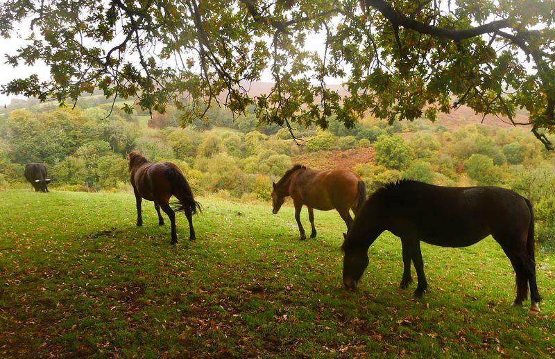 Nattadon morning 9 (ponies and bull)