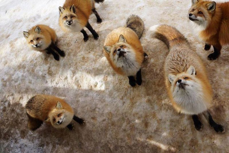 Zao Fox Village, Japan - photography by Rebecca Daum