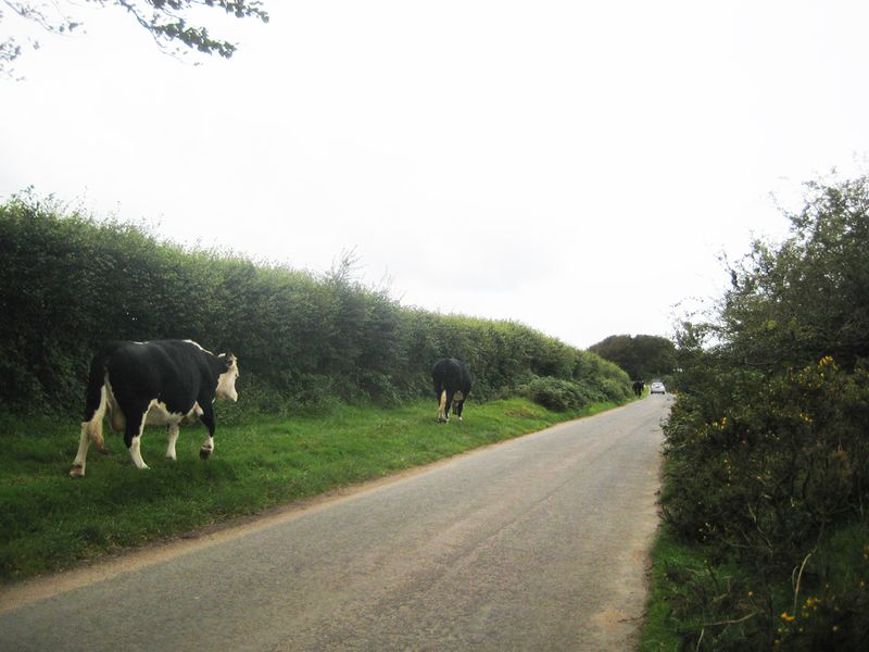 Cows in the lane, 5