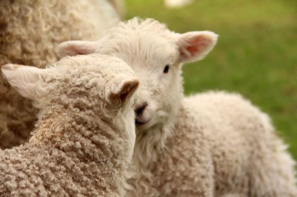 Dartmoor lambs