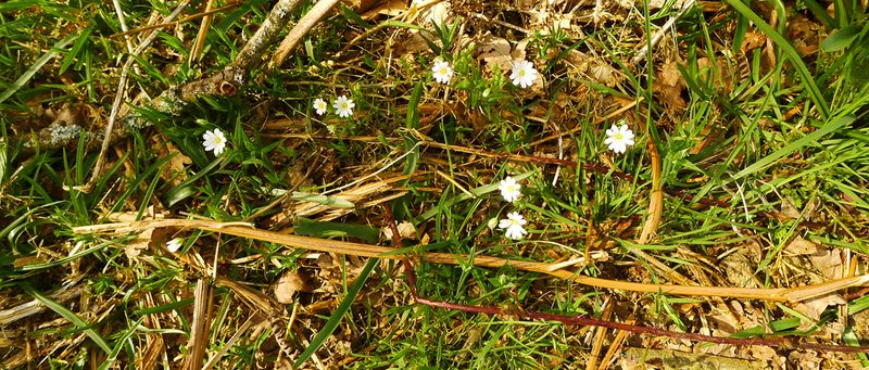Stitchwort on the Woodland Floor