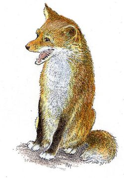 Fox drawing by Inga Moore