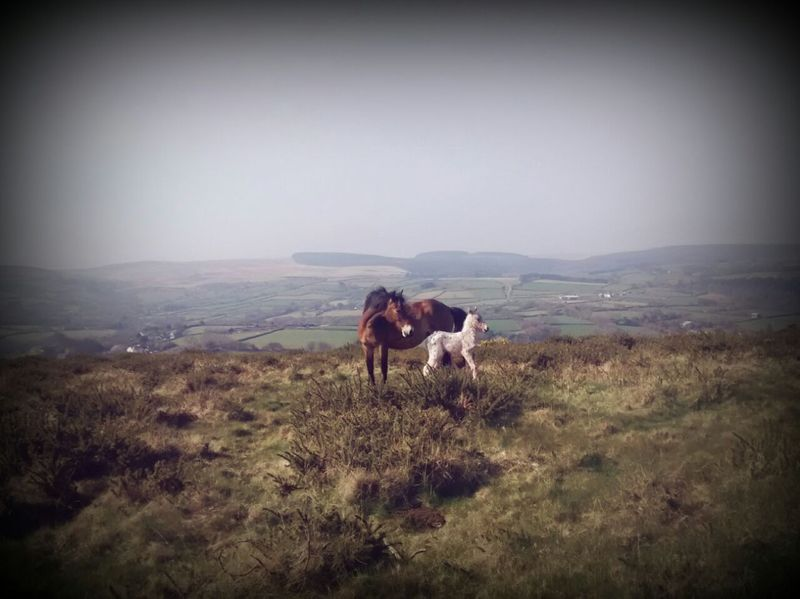 Dartmoor pony & foal by Carol Amos