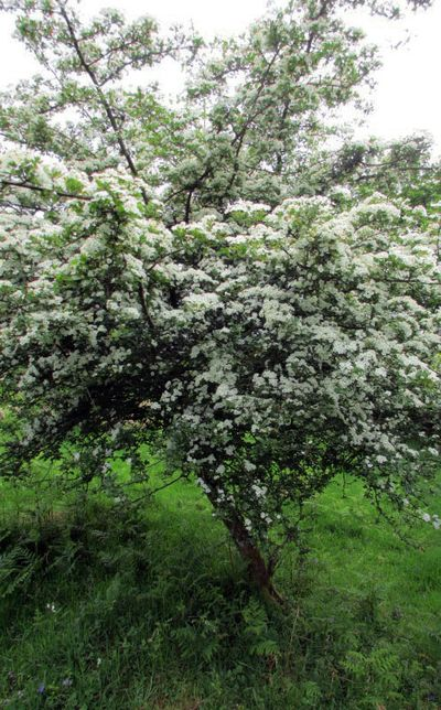 Hawthorn tree in bloom