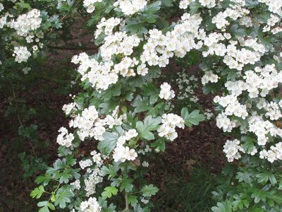 May blossoms on the hawthorn