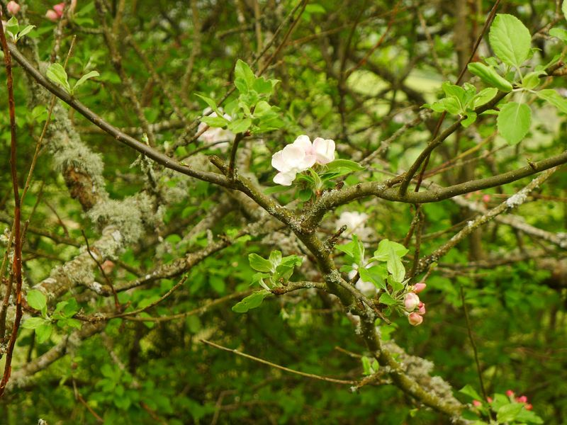 Wild apple blossom