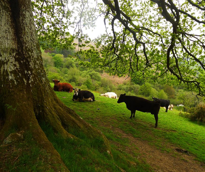 Cows under the oak