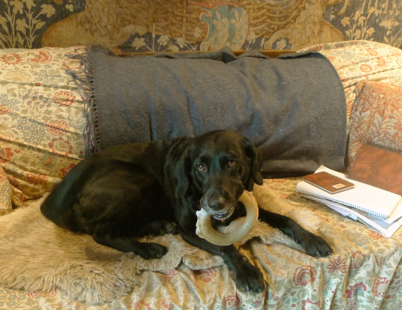 Studio muse, with rawhide chew