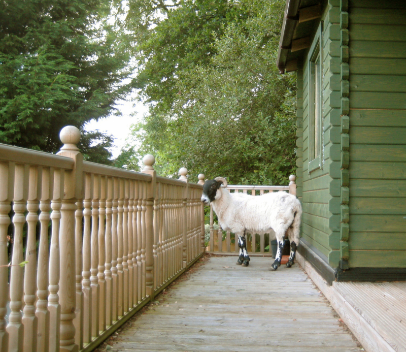 The ram on the cabin porch