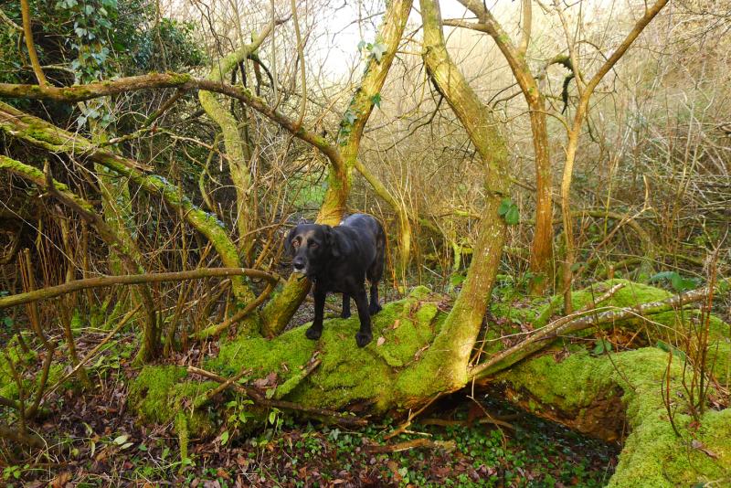 Wild hound