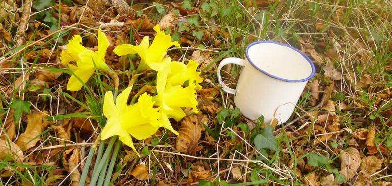 Coffee break with wild daffodils