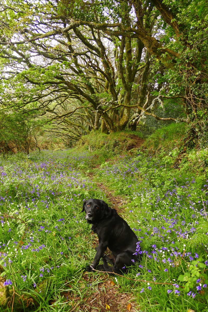 Tilly in the bluebells