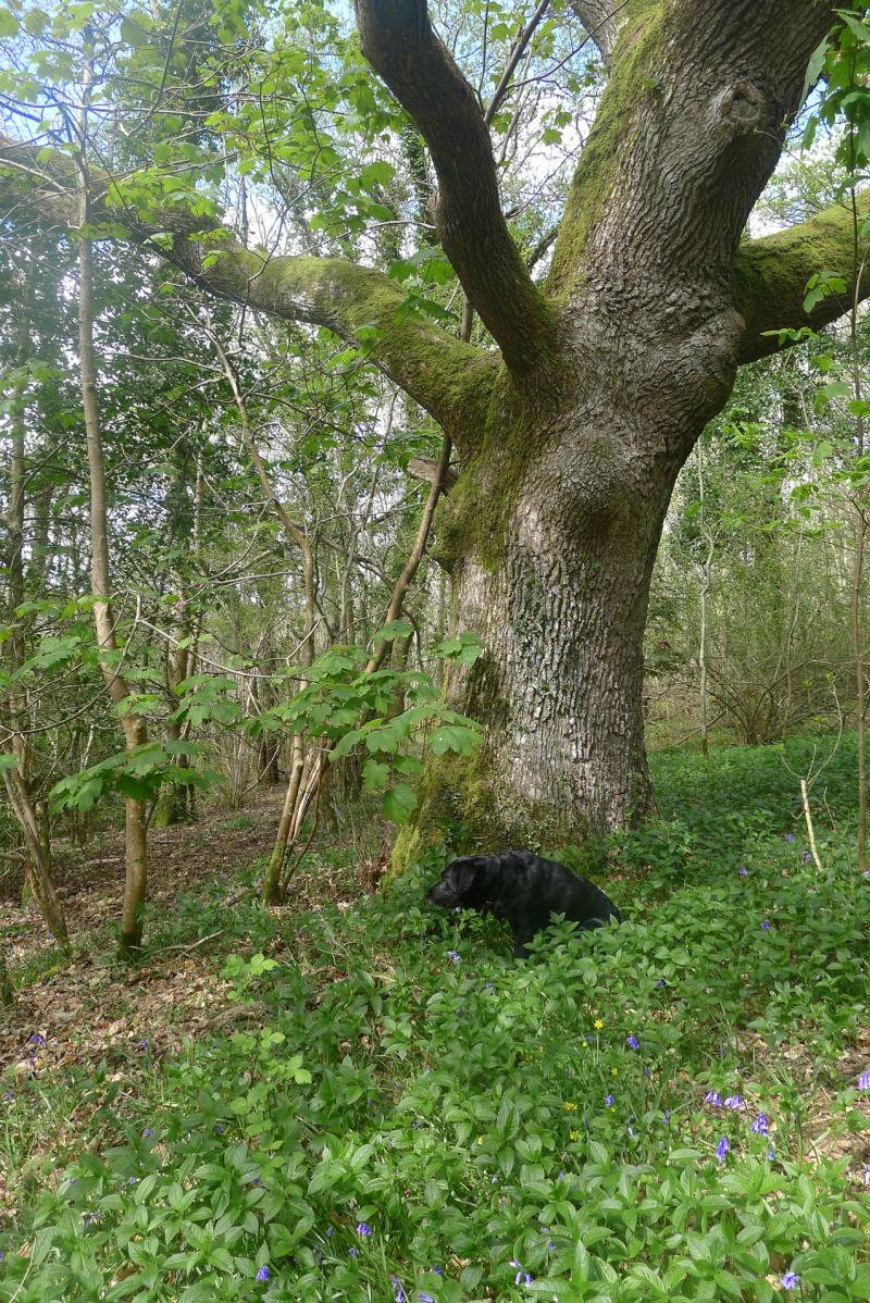 Oak elder 1