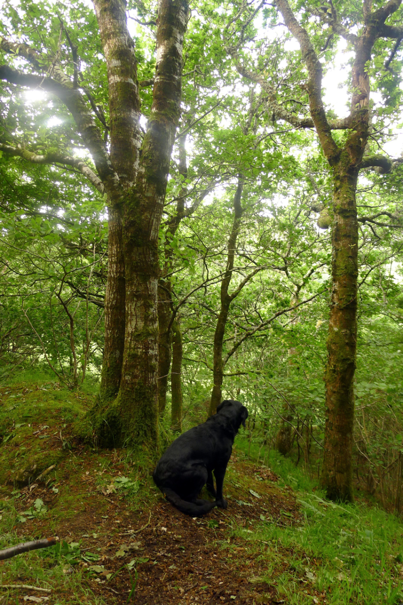 The hound in the woods