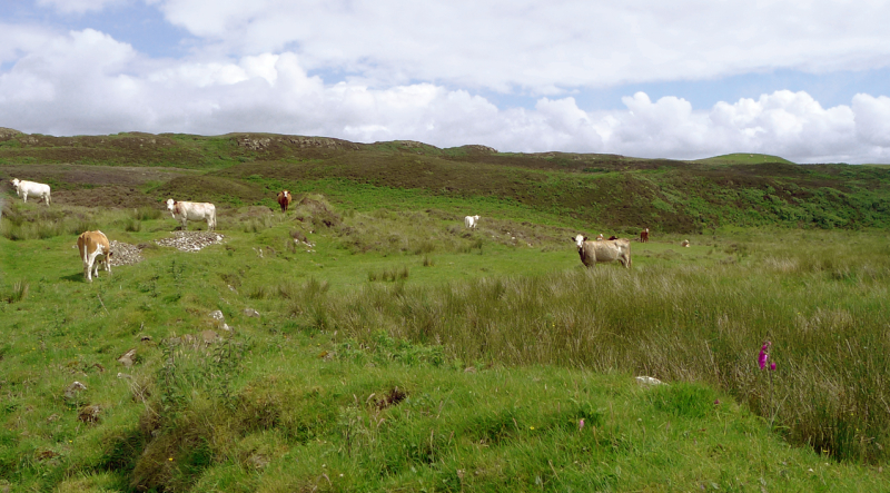 Cows above Loch Snizort