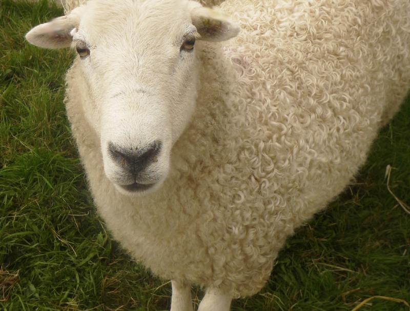 Sheep at Chagford Show