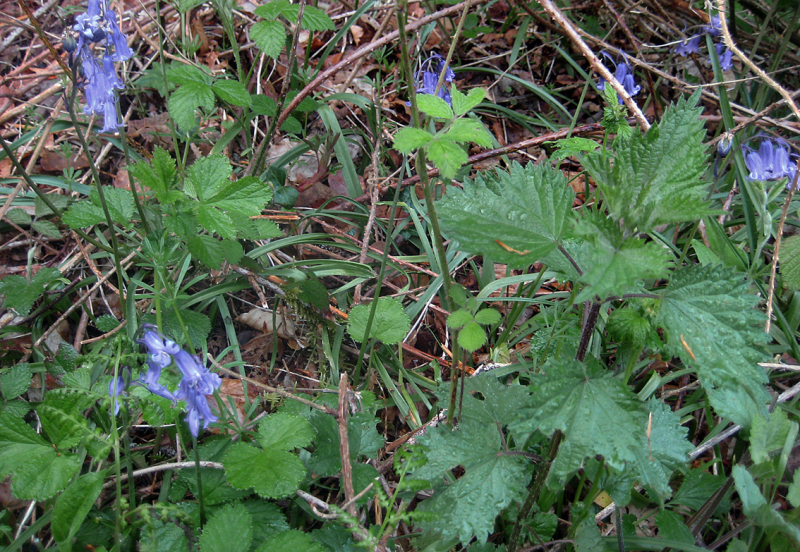 Nettles and bluebells