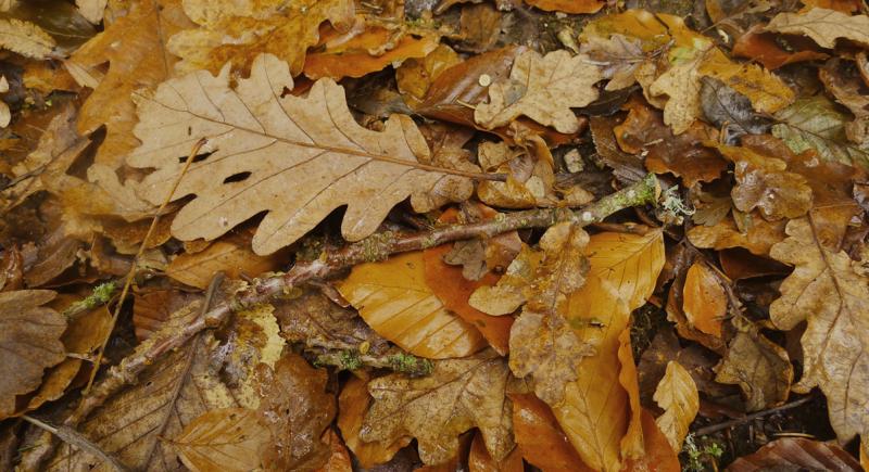 Oak 4