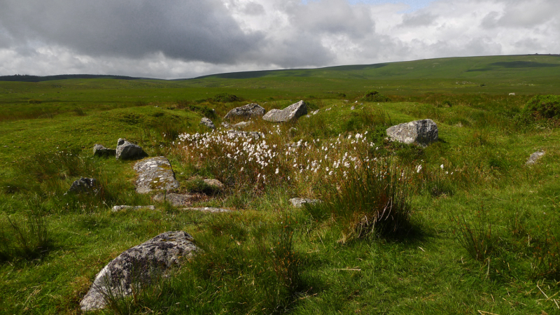 Bog cotton on the moor