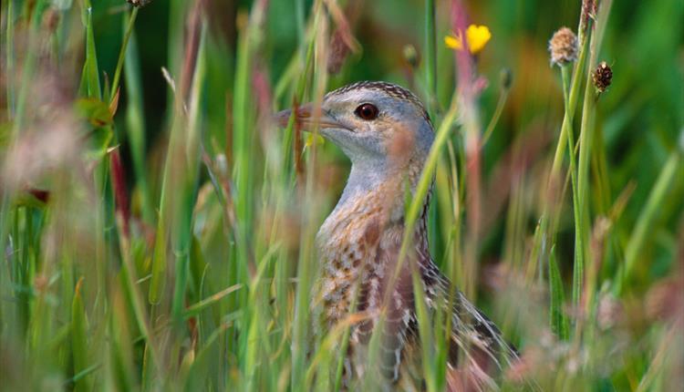 Corncrake hidden in the meadow grasse