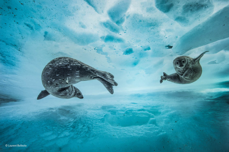 Weddell seals by Laurent Ballesta