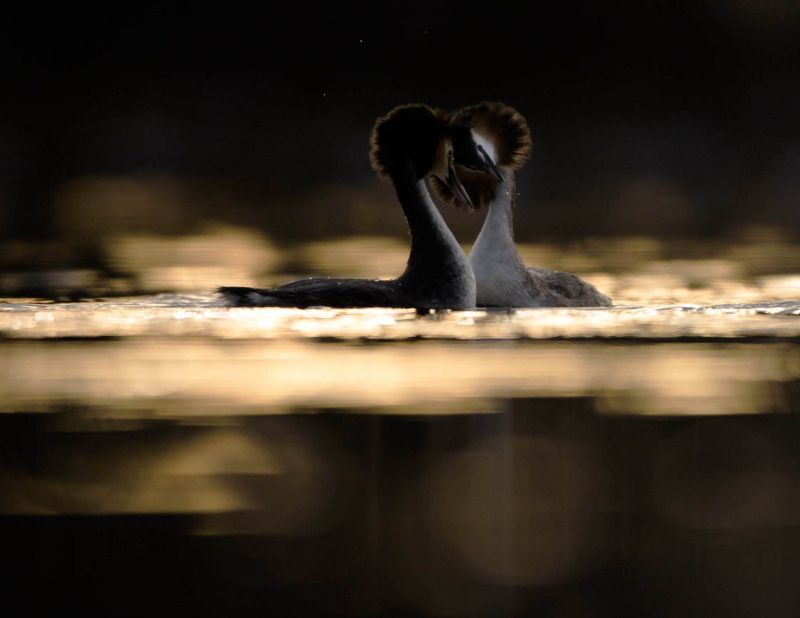 Great Crested Grebes by Knut Erik Alnæs (Norway)