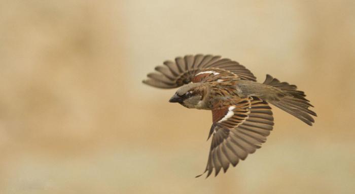 Sparrow in flight (photograph by Manuel Grossele)