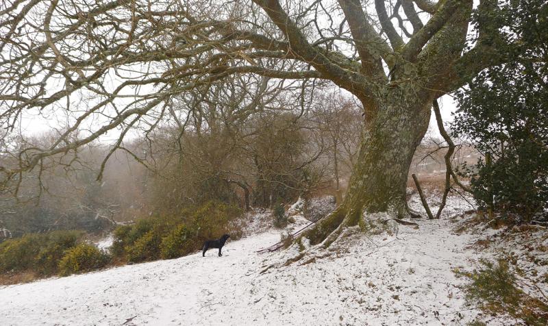 Oak tree in snow