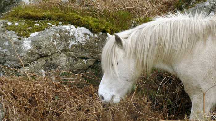 A Dartmoor pony on Nattadon Hill