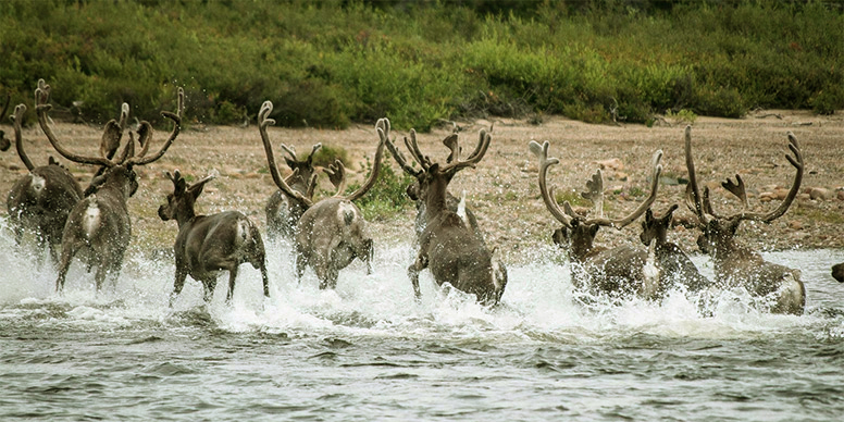 Caribou herd crossing a river