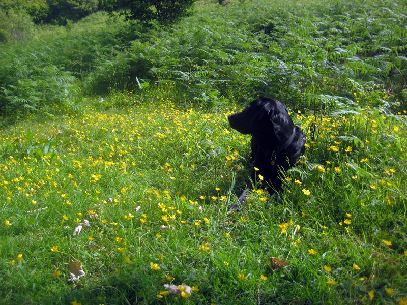 Tilly in the buttercups, 2012