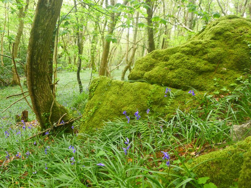 Moss and bluebells