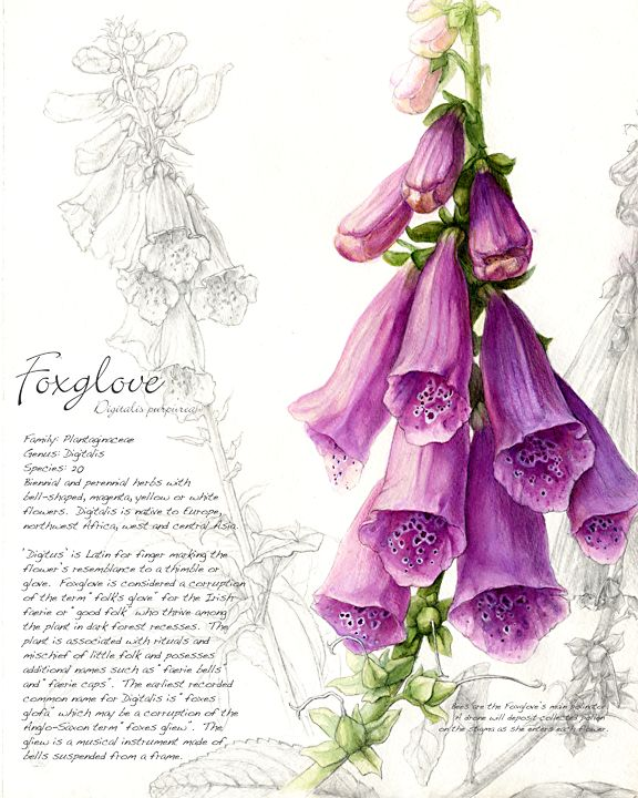 Foxglove by Christie Newman
