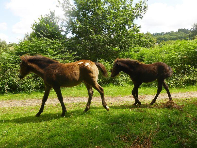 Dartmoor Ponies 2