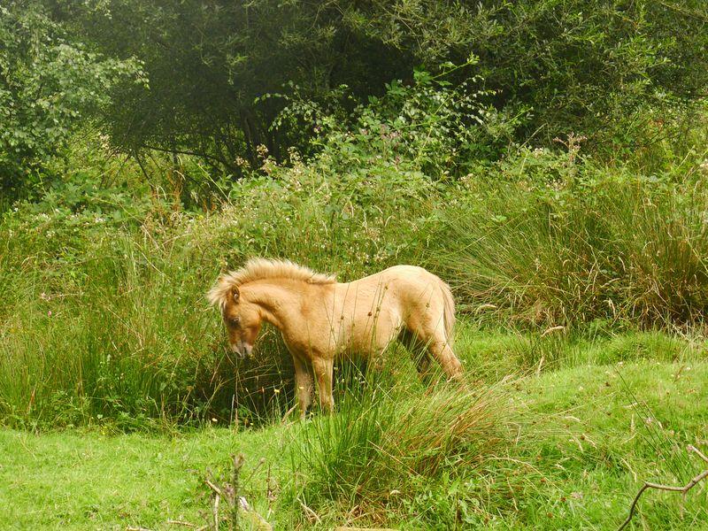 Dartmoor Ponies 6