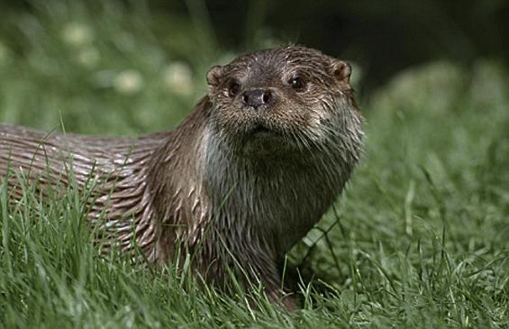 Otter, Farne Islands