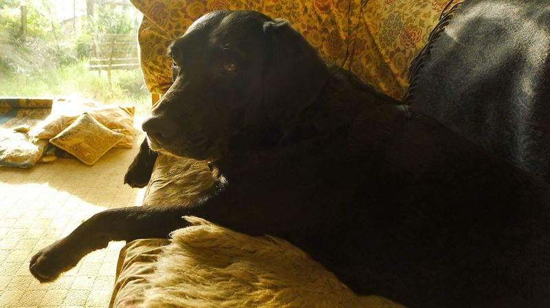 Morning light on the hound